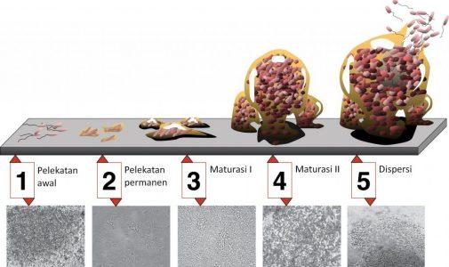 Fotodinamik Inaktivasi, Solusi Untuk Mereduksi Biofilm Bakteri